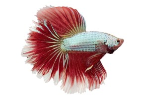 kleiner, bunter Fisch