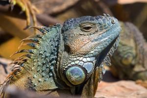 eine Leguanart