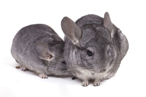 zwei Chinchillas