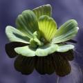 Wasser mit einer Muschelblume