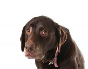 ein kranker brauner Hund