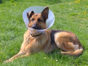 Hund mit Halskrause