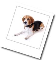 ein liegender Beagle