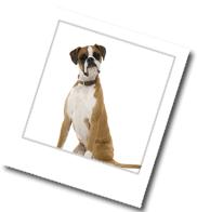 ein Boxer mit Hundeblick