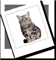 eine brasilianische kurzhaar Katze