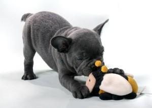 ein kleiner Hund spielt mit einem Stofftier