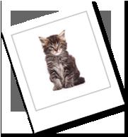 eine kleine sibirische Katze