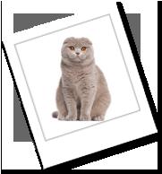 eine Katze der Rasse Scotish Fold