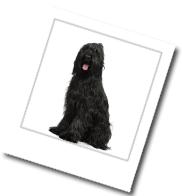 ein Hund der Rasse Briard