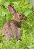 ein Kaninchen auf einer grünen Wiese