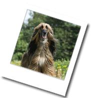 ein edler Afganischer Windhund