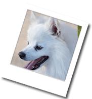 Bild eines Amerikan Eskimo Dog