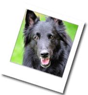 ein Hund der Rasse Groenendael