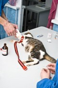 eine Katze wird beim Tierarzt behandelt