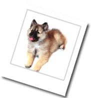 der Hund der Rasse Wolfspitz macht Platz