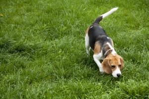 Ein American Foxhound schnuppert nach Beute