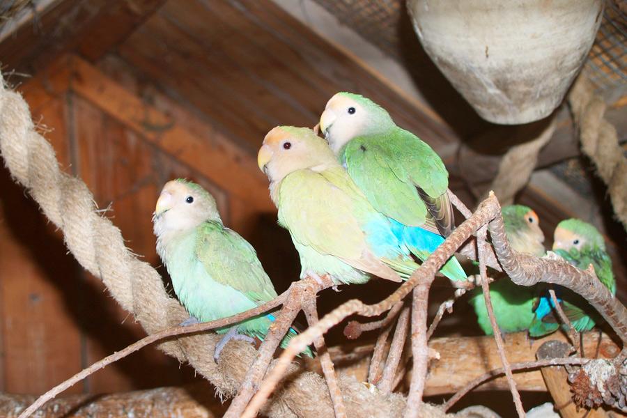 mehrere Vögel in einer Voliere