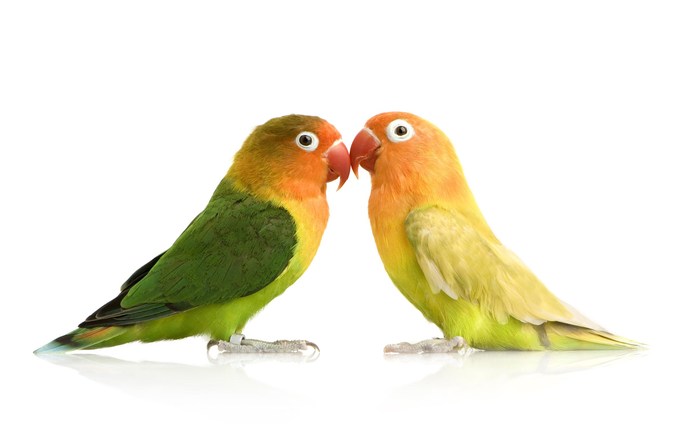 zwei Vögel, auch Unzertrennliche genannt