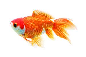 ein Goldfisch