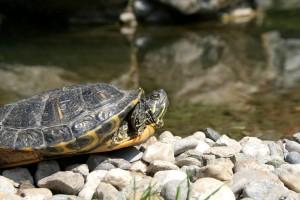 eine Wasserschildkröte am Wasser