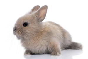 liegendes Kaninchen