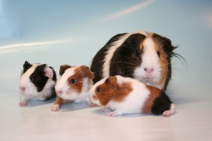 eine kleine Meerschweinchenfamilie