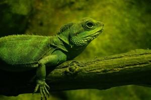ein grüner Leguan auf einem Ast