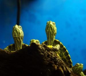 Wasserschildkröten in einem Aquarium