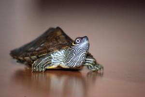 eine Mississippi-Höckerschildkröte läuft auf dem Boden