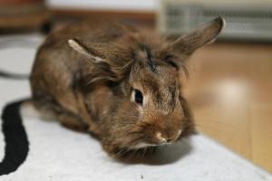 Kaninchen in der Wohung
