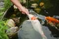 Fische werden gefüttert