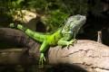 ein Leguan auf einem Baumstamm