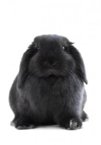 ein schwarzes Kaninchen