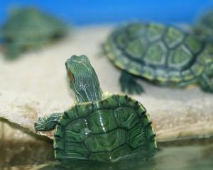 ein Aquarium mit kleinen Schildkröten