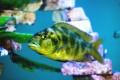 ein Aquariumfisch
