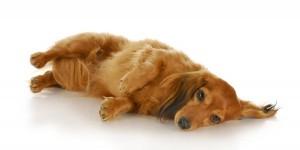 ein kranker, müder Hund
