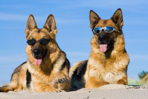 zwei Hunde mit Sonnenbrillen