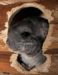 ein Chinchilla knabbert am Häuschen