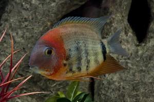 ein Fisch schwimmt im Aquarium