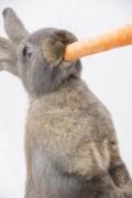 ein Kaninchen knabbert an einer Karotte