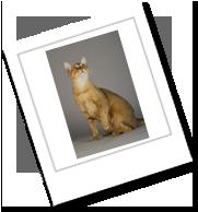 die Katzenrasse Chausie