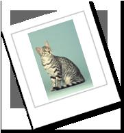 Die Katzenrasse ägyptische Mau