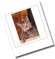 eine Katze der Rasse Pixi-Bob