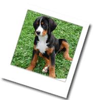 ein junger Appenzeller-Sennenhund