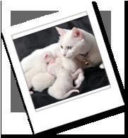 eine Türkisch Van mit Kitten