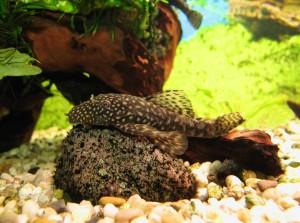 Steine als Bodengrund für ein Aquarium