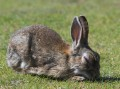 ein Kaninchen auf einer Wiese