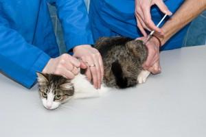Impfung Für Katzen Tierklinikennet