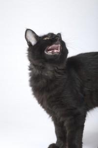 eine schwarze Katze miaut