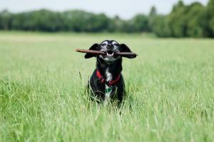 ein Hund mit einem Stock im Maul